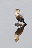 White-breasted cormorant (phalacrocorax lucidus) Royalty Free Stock Photo
