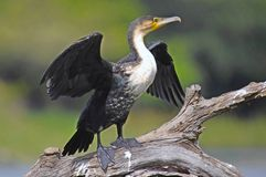 White-breasted Cormorant (Phalacrocorax lucidus) in Kruger National Park Stock Photography