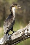 White-breasted Cormorant (Phalacrocorax lucidus) Stock Images