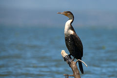 White-breasted cormorant (Phalacrocorax lucidus) Royalty Free Stock Image