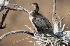White-breasted cormorant, Phalacrocorax lucidus Stock Photography