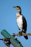White Breasted cormorant Royalty Free Stock Image