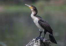 White breasted cormorant on stump Stock Photo