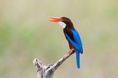 White-breasted Kingfisher Royalty Free Stock Image