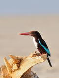White-breasted Kingfisher on the dry snag at Goa beach, India Royalty Free Stock Photography