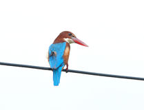 White breasted kingfisher Royalty Free Stock Photos