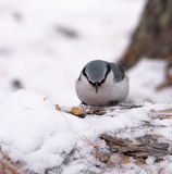 White Breasted Nuthatch. In winter time stock images