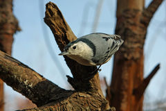 White-breasted Nuthatch. Perched On Tree In Sun Stock Image