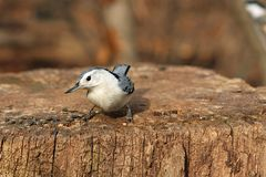 White-breasted Nuthatch. On Stump In Sun Royalty Free Stock Images