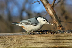 White-breasted Nuthatch. With Seeds In Morning Sun Stock Photos