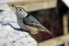 White-breasted Nuthatch. In Snow In Morning Sun Royalty Free Stock Photography