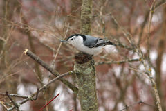 White-breasted Nuthatch. Perched In Tree In Morning Stock Images