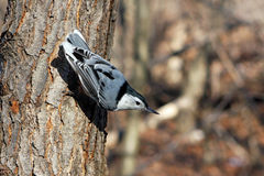 White-breasted Nuthatch. In Sun On Side Of Tree Royalty Free Stock Photo