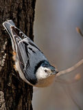 White-breasted Nuthatch. Photograph of a White-breasted Nuthatch in a common head-down position while foraging on a tree trunk in a forest Royalty Free Stock Images