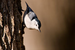 White Breasted Nuthatch. Sitta carolinensis Royalty Free Stock Photography