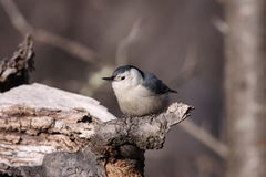 White-breasted Nuthatch Stock Photos