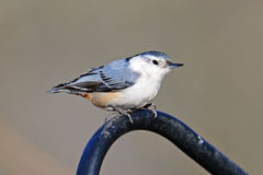 White-Breasted Nuthatch. Resting on metal bar Royalty Free Stock Photography