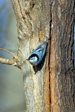 White-Breasted Nuthatch. Scurrying down a tree Royalty Free Stock Photo