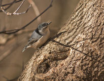 White-Breasted Nuthatch. Small White-Breasted Nuthatch on a tree stock photo