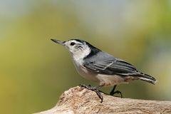 White Breasted Nuthatch Royalty Free Stock Photos