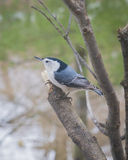 White-Breasted Nuthatch Royalty Free Stock Photos