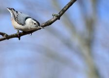 White-breasted Nuthatch Stock Photography
