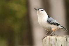 White Breasted Nuthatch Stock Images