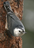 White-breasted Nuthatch. On a tree Stock Photo