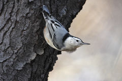 White breasted Nuthatch. Waiting on tree looking for food and predators Royalty Free Stock Photo