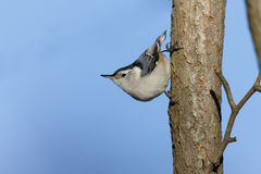 White-breasted Nuthatch. (Sitta carolinensis carolinensis), male on tree Royalty Free Stock Photos