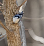White-breasted Nuthatch Royalty Free Stock Photography