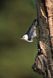 White-breasted Nuthatch. A white-breasted nuthatch hangs upside down on the side of a tree Royalty Free Stock Image