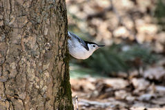 White Breasted Nuthatch. A White Breasted Nuthatch in it's typical form walking tree trunks in search for insects Stock Photography