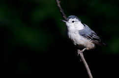 White-Breasted Nuthatch Against A Green Background Royalty Free Stock Images