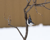 A White Breasted Nuthatch On Alert.  Royalty Free Stock Photography
