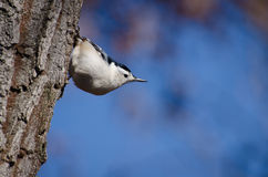White-Breasted Nuthatch in Autumn Royalty Free Stock Photography