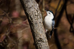 White-Breasted Nuthatch in Autumn Stock Image