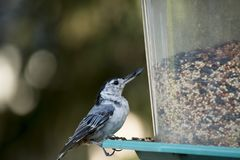 White breasted nuthatch on a backyard Bird feeder Royalty Free Stock Photo