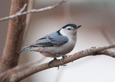 White-breasted Nuthatch. A beautiful White-breasted Nuthatch perches on a branch as it approaches a Wisconsin feeding station Royalty Free Stock Photography