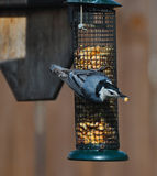 White breasted nuthatch bird Stock Photography