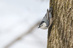 White-breasted nuthatch bird perched vertically on the trunk of a tree Stock Photos