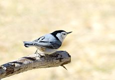 White Breasted Nuthatch bird Stock Images
