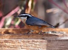White Breasted Nuthatch On Birdfeeder Royalty Free Stock Photos
