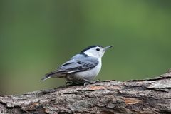 White Breasted Nuthatch on a Branch Stock Photo