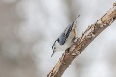 White-breasted Nuthatch. Clinging to a dead tree branch Royalty Free Stock Photography