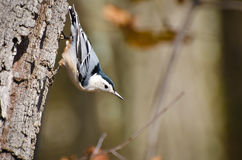 White-Breasted Nuthatch Clinging to Tree Royalty Free Stock Photo