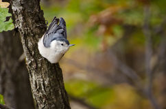 White-Breasted Nuthatch clinging to a tree Royalty Free Stock Images