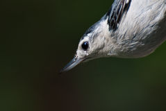 White-Breasted Nuthatch Close Profile Royalty Free Stock Images