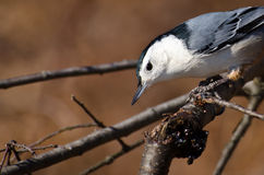 White Breasted Nuthatch Close Up Royalty Free Stock Photography