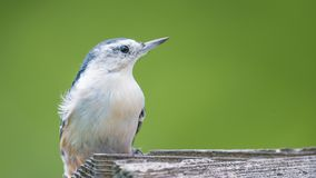 White-breasted nuthatch closeup on a feeder at the visitor center of the Minnesota Valley National Wildlife Refuge stock photography